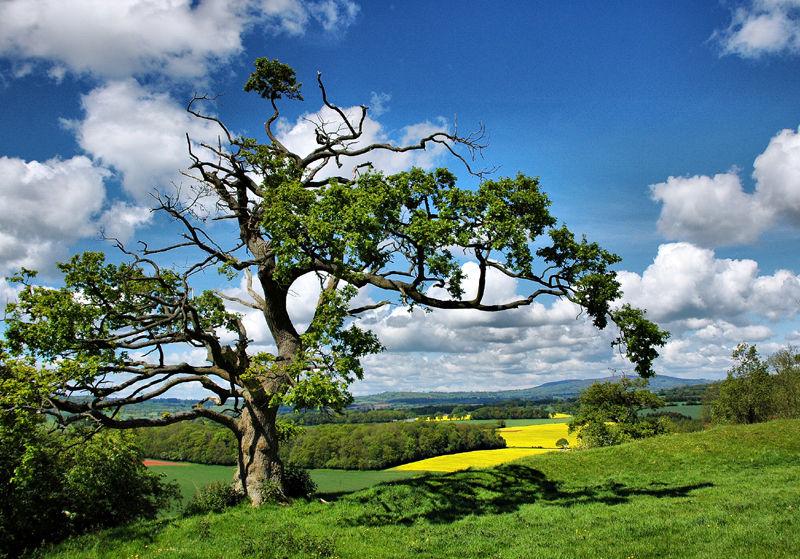 Oak Rapeseed Caynham Shropshire UK