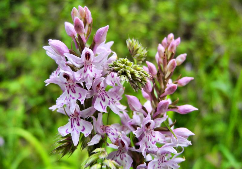 Ludlow Orchid Shropshire UK