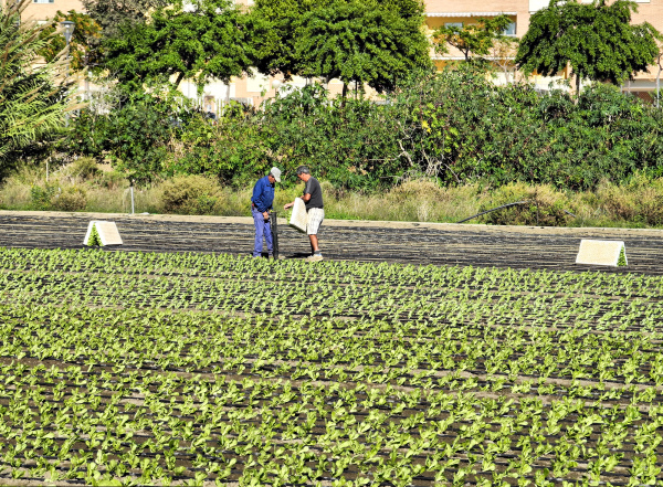 Torre Del Mar Axarquia Andalusia Spain Lettuce