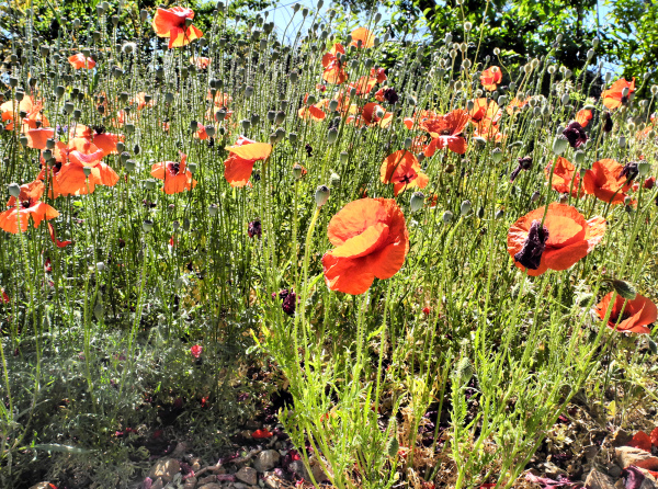 Comares Axarquia Spain Poppies