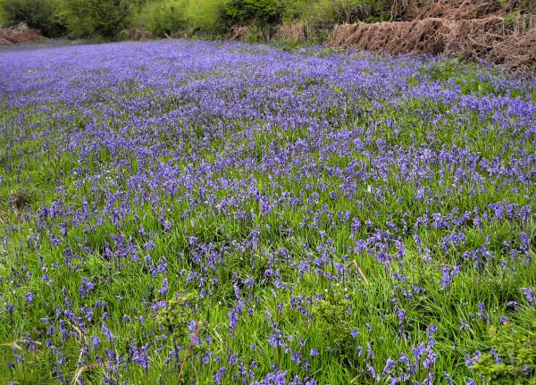 Bluebells Ludlow Shropshire UK