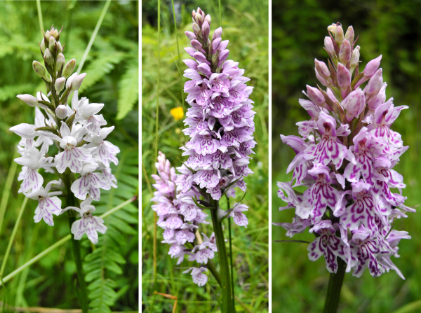 Common Spotted Orchid Ludlow Shropshire UK