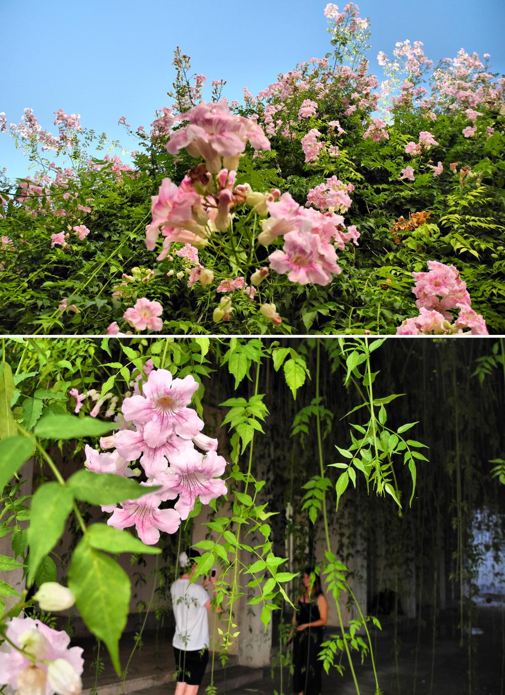 Seville Spain Bignonia