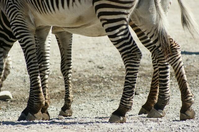 8 legged Zebra