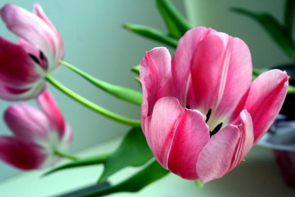 Tulips in Bllom