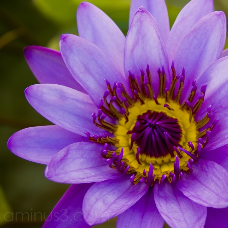 Water Lily Close-Up