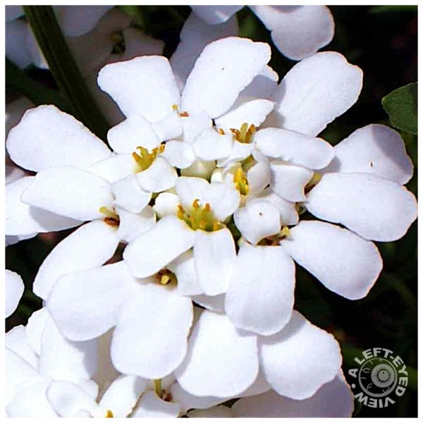 Candytuft Flower, Iberis umbellata
