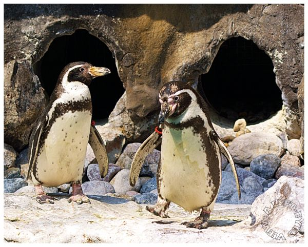 """Humboldt penguins"", ""A Left-Eyed View"""