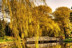 Weeping Willow Trees in Spring