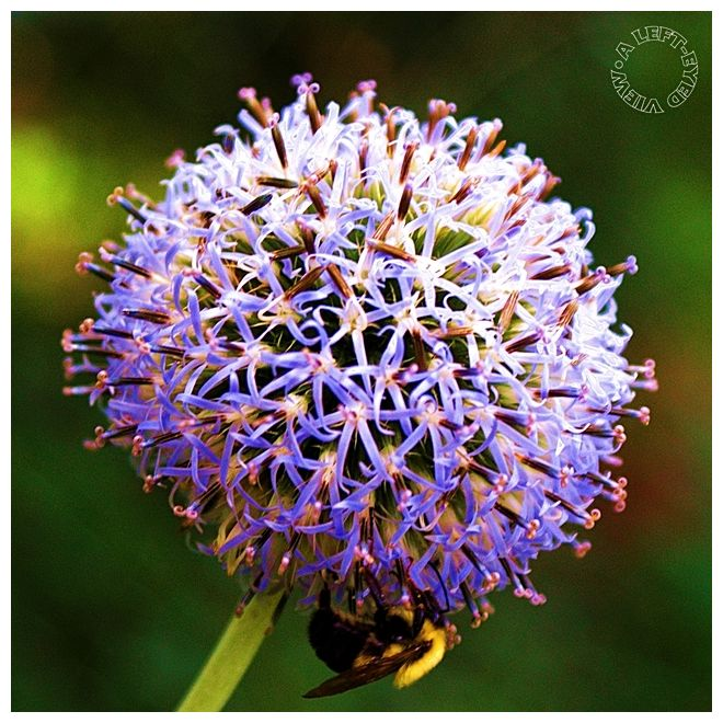 "Great globe thistle, ""A Left-Eyed View"""