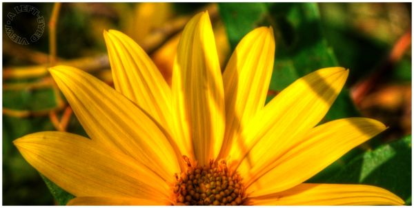 """Flowers, yellow, petals, """"A Left-Eyed View"""""""