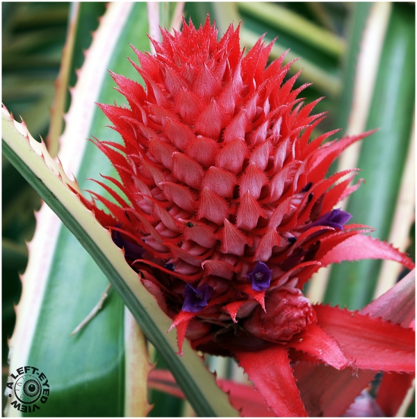 """Pineapple Bromeliad"", ""A Left-Eyed View"""