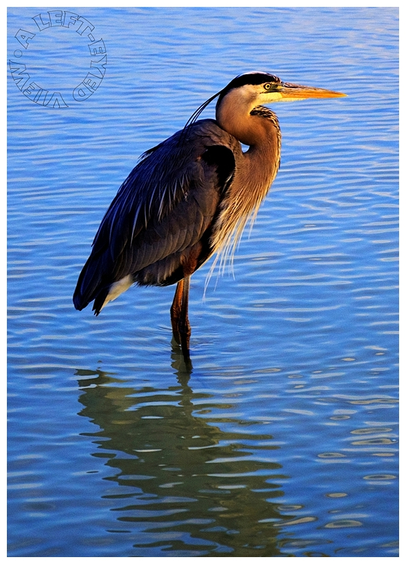 "Great Blue Heron, ""A Left-Eyed View"""