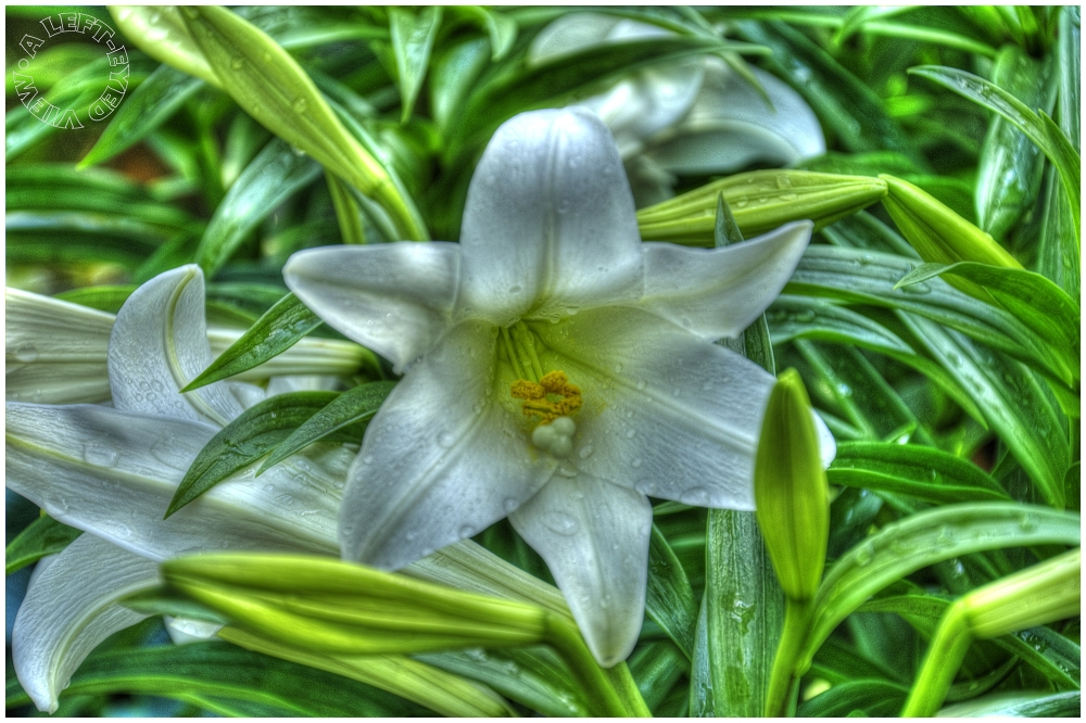 "Easter Lily, ""A Left-Eyed View"""