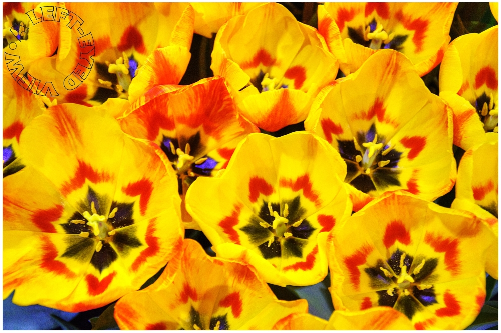 """Tulips, """"A Left-Eyed View"""""""