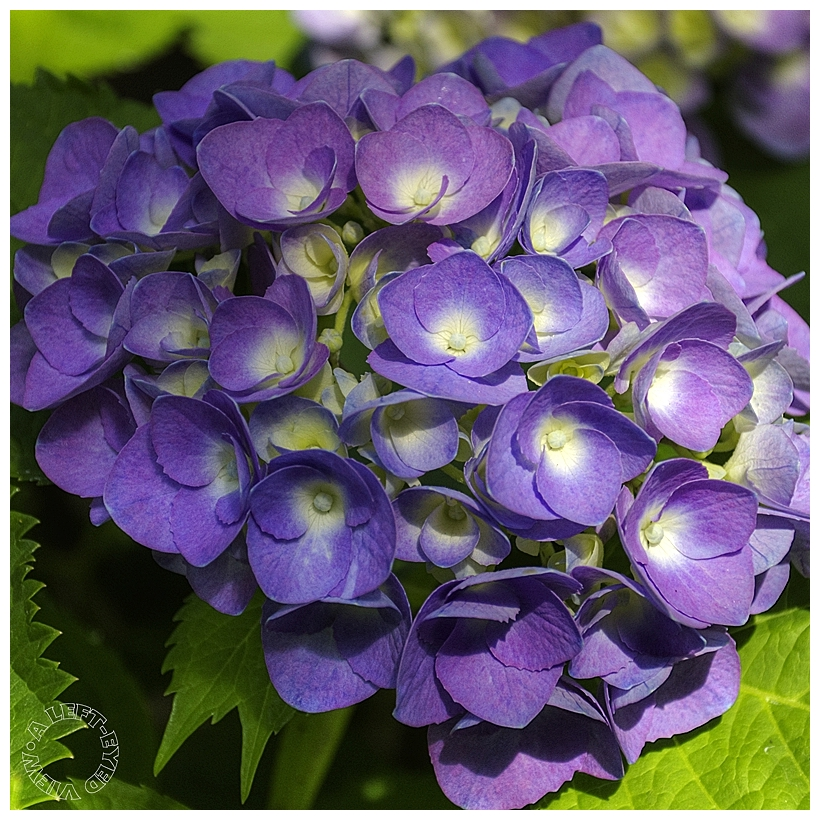 "Hydrangea, ""A Left-Eyed View"""