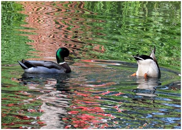 """mallard duck, """"A Left-Eyed View"""""""