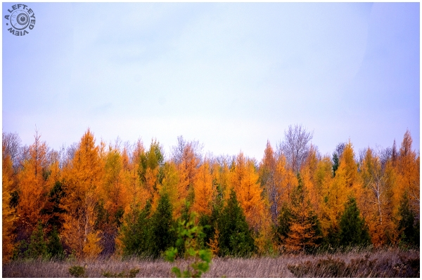 Yellow Evergreens????