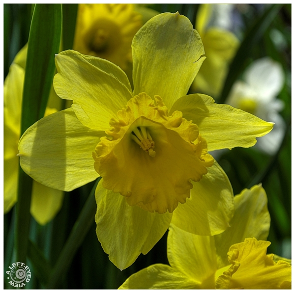 """A Left-Eyed View"", ""Daffodil"""