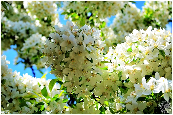 Crab Apple Blossoms #4