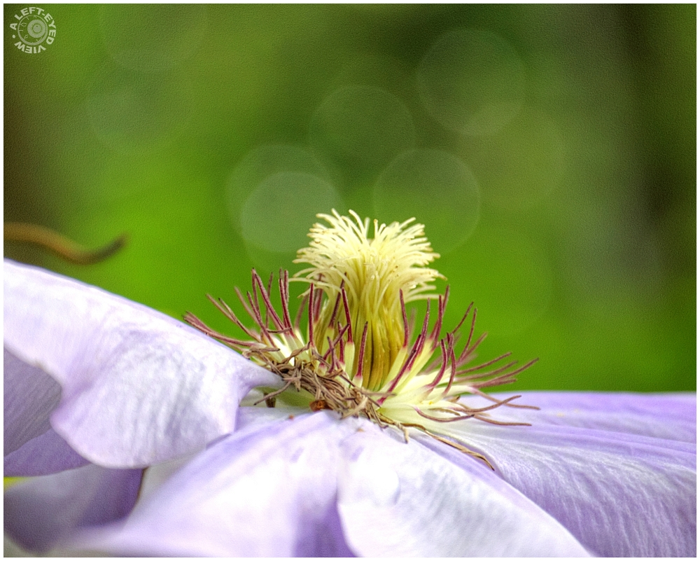 """A Left-Eyed View"", ""clematis"""