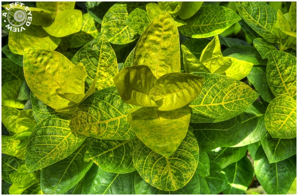 Gold-Veined Eranthemum