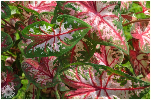 """A Left-Eyed View"", Sabourin, Caladium"