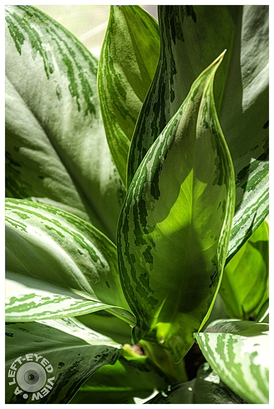 """A Left-Eyed View"", Sabourin, Aglaonema"