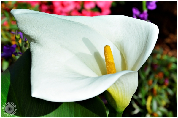 """""""A Left-Eyed View"""", Sabourin, Calla Lily"""