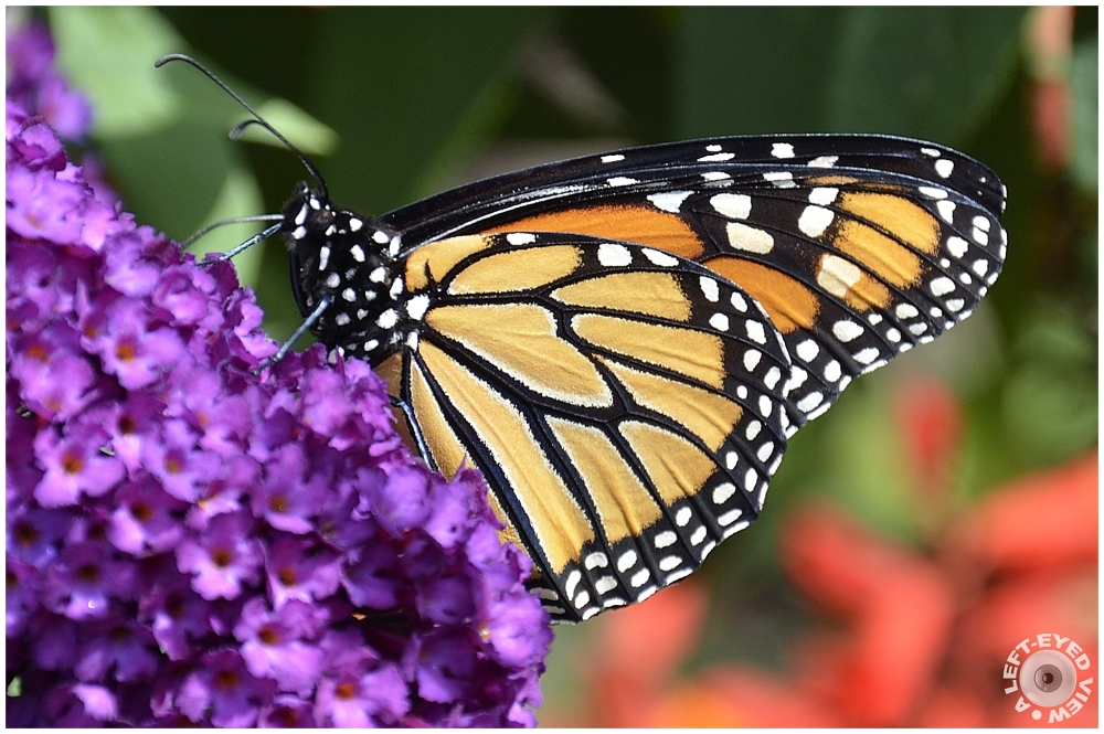 """""""A Left-Eyed View"""", Sabourin, Monarch Butterfly"""