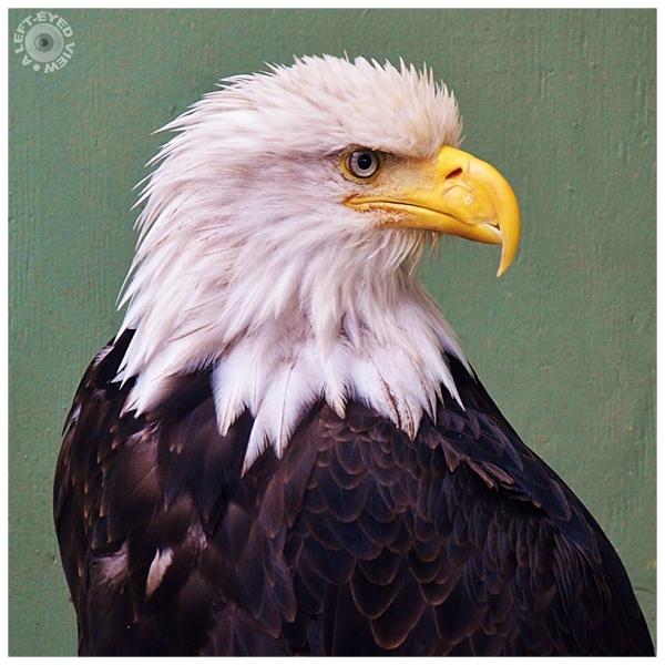 Bald Eagle, Sabourin