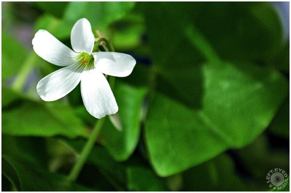Shamrock Flower, Sabourin