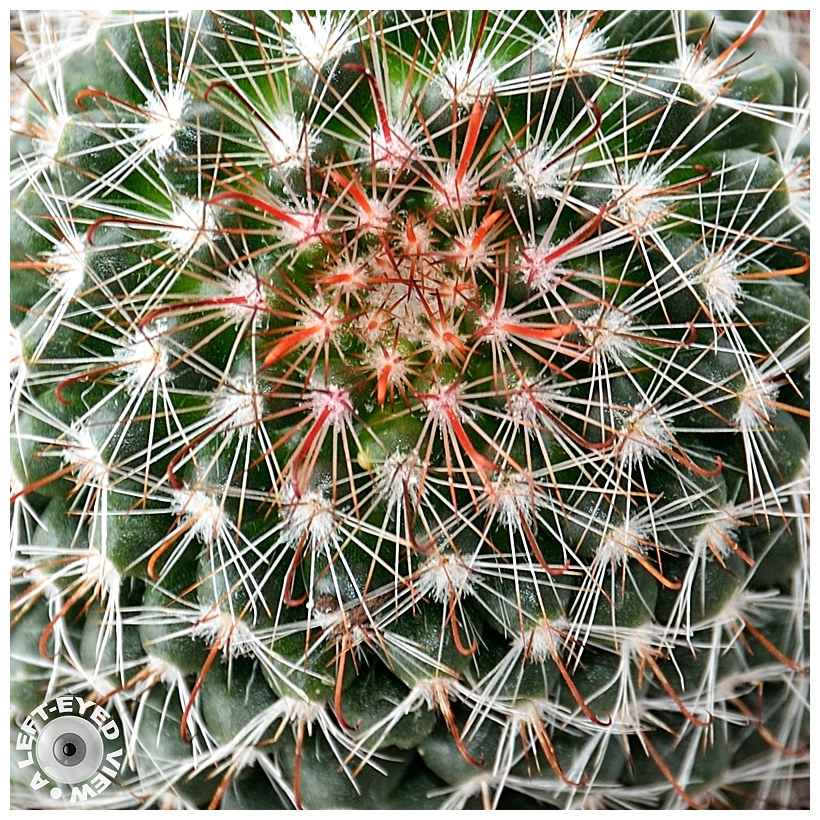 cactus, spines, Sabourin