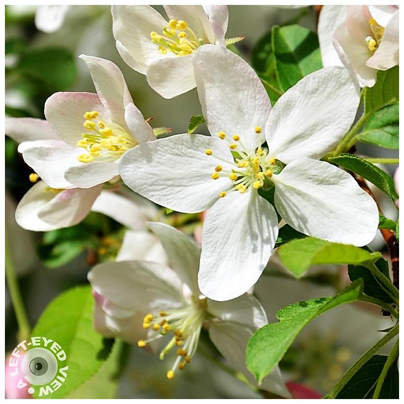 blossoms, Sabourin