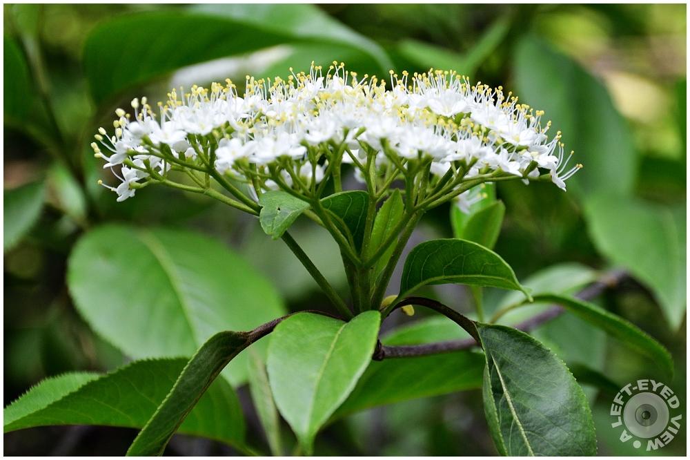 Elderflower, Sabourin