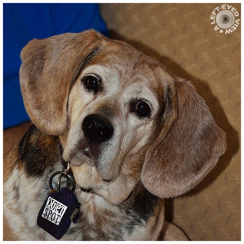wilma dog beagle basset dsc7330