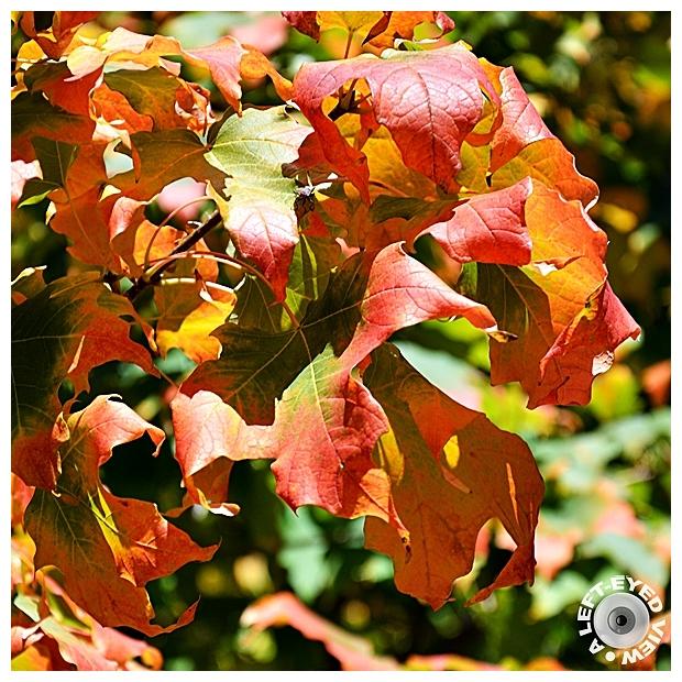 Maple, Autumn, Fall, Sabourin
