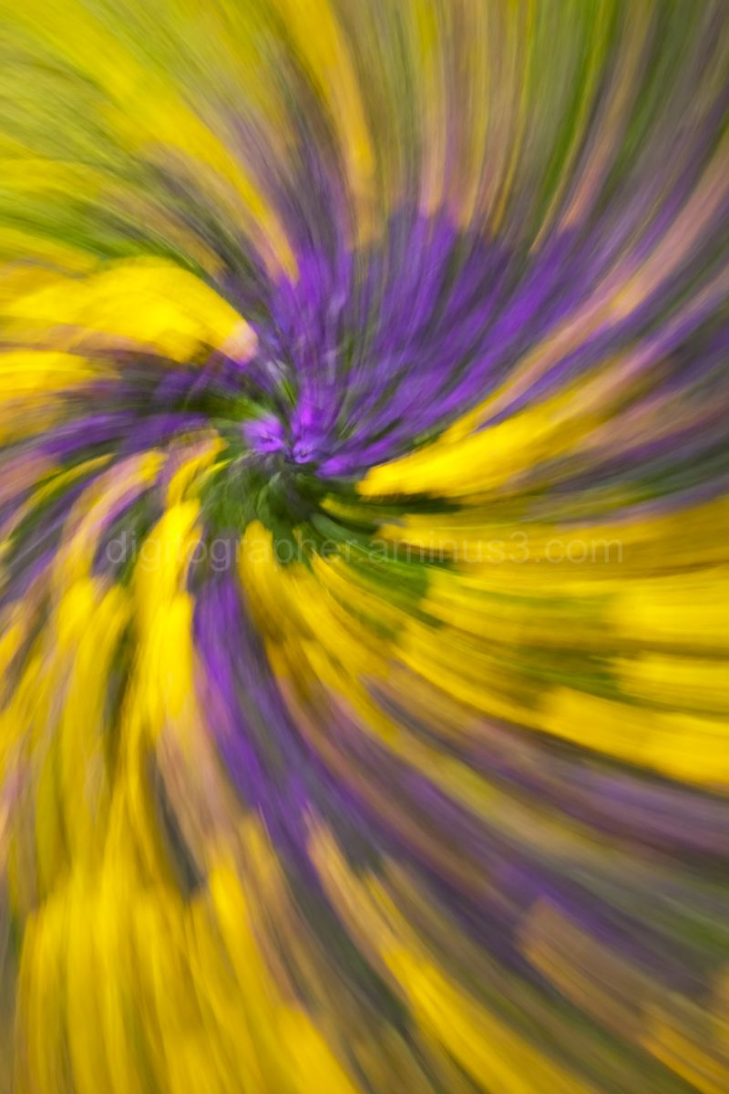 Pansy patch while zooming and rotating the camera