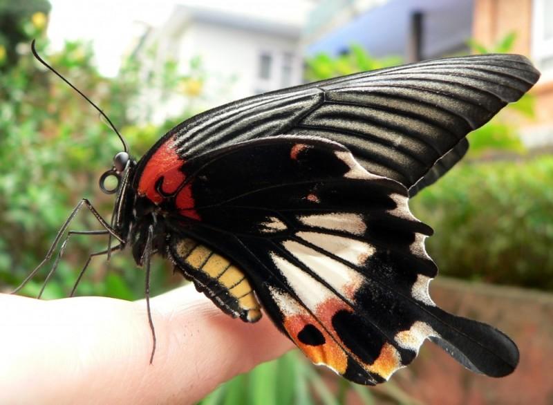 Butterfly. Kathmandu, Nepal