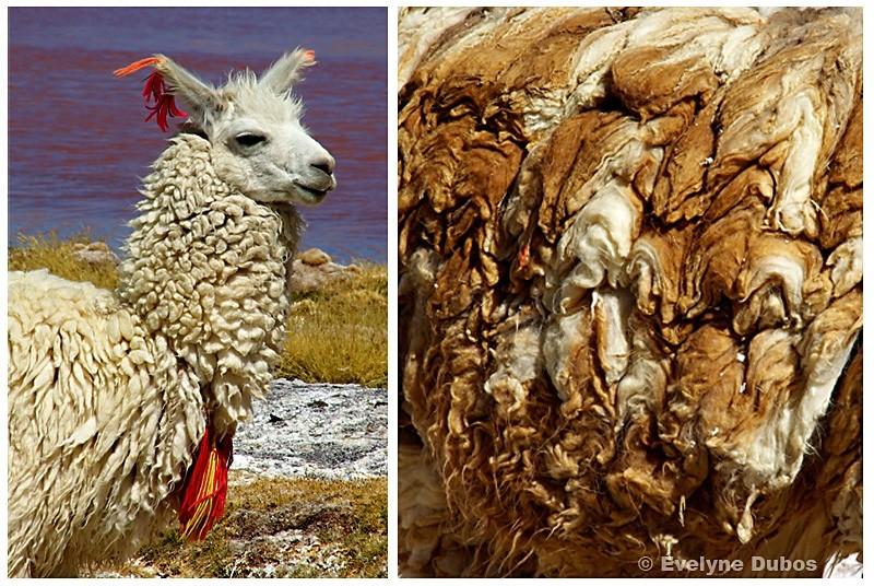 La Belle et laine (Bolivia)