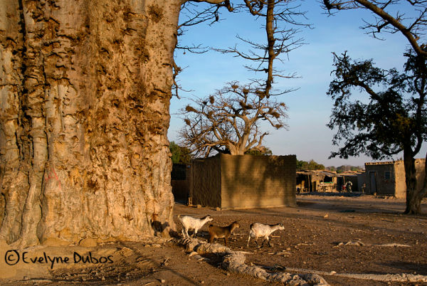 3 goats on a stroll.