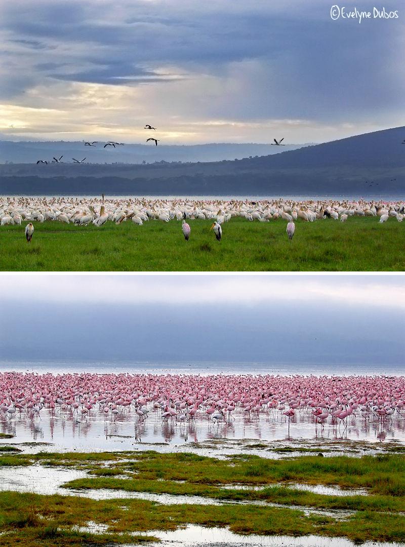 Le jour se lève sur le lac Naivasha.  (Kenya)