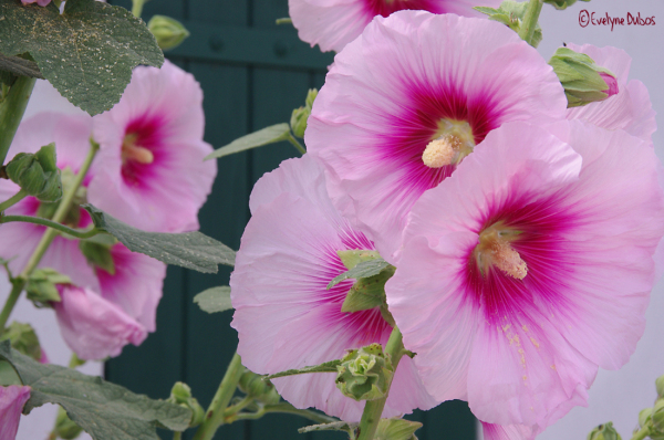 Roses trémières et... volets clos. (1)