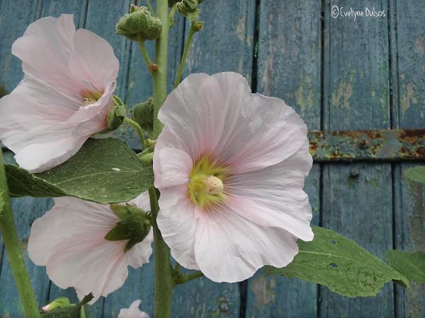Roses trémières et... volets clos. (2)