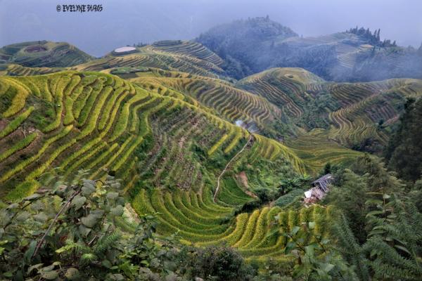 Rizières en terrasse du Guangxi.