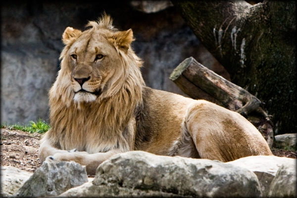 lion at the St. Louis Zoo