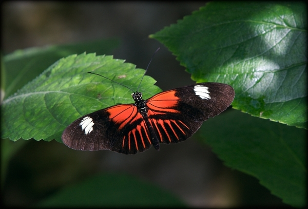 Butterfly captured at MBG Butterfly House