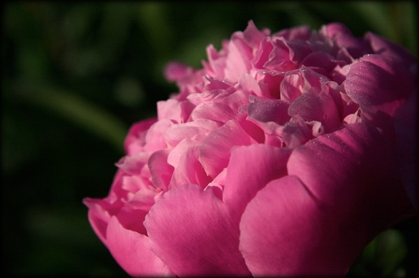 Dew drops on a pink peony