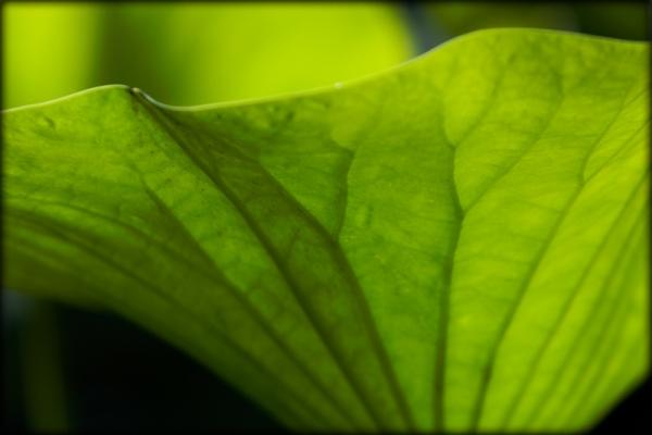 lotus leave
