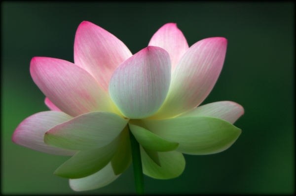 Sacred lotus blossom